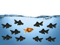 Against opposite view. Different gold fish with different perspective Royalty Free Stock Photography