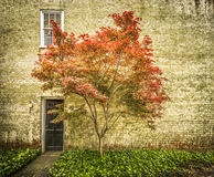 Against a Wall. Japanese maple against a brick wall Royalty Free Stock Photos