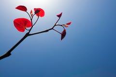 againts błękit opuszczać czerwonego niebo Zdjęcia Stock