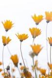 againts stokrotek delikatny grupowy pomarańczowy niebo Zdjęcia Royalty Free