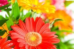 agaisnt tła zamazany kwiatów gerbera Fotografia Stock