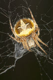 Agalenatea redii / Orb web spider on his net Stock Images