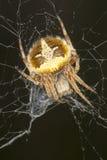 agalenatea sieć sieci okręgu redii pająka sieć Obrazy Stock