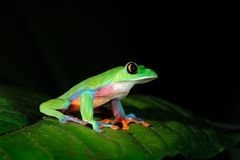 Agalychnis annae, Golden-eyed Tree Frog, green and blue frog on leave, Costa Rica. Wildlife scene from tropic jungle. Forest amphi royalty free stock photography