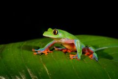 Agalychnis annae, Golden-eyed Tree Frog, green and blue frog on leave, Costa Rica. Wildlife scene from tropical jungle. Forest amp royalty free stock photography