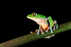 Agalychnis annae, Golden-eyed Tree Frog, green and blue frog on leave, Costa Rica. Wildlife scene from tropical jungle. Forest stock photos