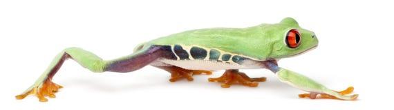 agalychnis callidryas注视红色treefrog 图库摄影