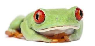 agalychnis callidryas注视红色treefrog 免版税库存图片