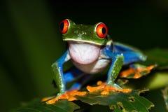 agalychnis callidryas注视青蛙红色结构树 库存照片