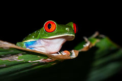 agalychnis callidryas注视青蛙红色结构树 免版税库存照片