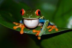 agalychnis callidryas注视青蛙红色结构树 免版税库存图片