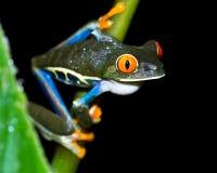 agalychnis callidryas注视青蛙红色结构树 免版税图库摄影