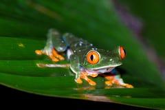 agalychnis callidryas注视青蛙红色结构树 图库摄影