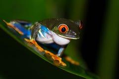 agalychnis callidryas注视青蛙红色结构树 库存图片