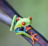 agalychnis callidryas注视青蛙红色 免版税库存图片