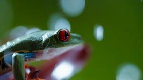 红眼睛的亚马逊雨蛙在雨下的Agalychnis Callidryas 库存图片