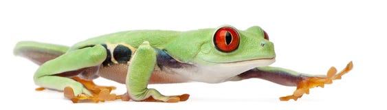 agalychnis callidryas przyglądający się czerwony treefrog Zdjęcie Stock