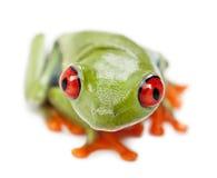 agalychnis callidryas przyglądający się czerwony treefrog Zdjęcia Stock