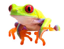 Agalychnis callidryas or the red eyed monkey tree frog royalty free stock images