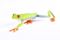 Agalychnis callidryas, Red-eyed treefrog. Agalychnis callidryas, better known as the Red-eyed treefrog is an iconic frog species from Central America Royalty Free Stock Photo