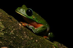 Agalychnis Moreletii 6 Photographie stock