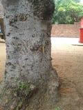 Agamá da árvore Foto de Stock