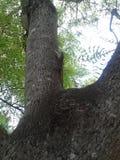 Agamá da árvore Fotos de Stock