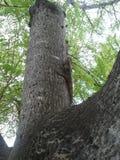 Agamá da árvore Imagens de Stock