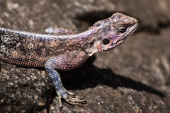 Agama # 1. Close up of a Agama agama in the Serengeti National Park Royalty Free Stock Photo