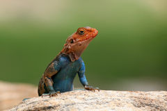 Agama. Portrait of read-headed agama lizard perching on a rock Royalty Free Stock Image
