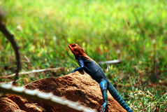 An agama Stock Photos