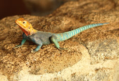 Agama agama Stock Photography