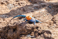 Agama agama or common red-headed rock lizzard Stock Photo