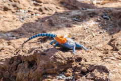 Agama agama or common red-headed rock lizzard Royalty Free Stock Images