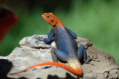 Agama - As A Toy For Your Children. Please Feed Me! Royalty Free Stock Photography