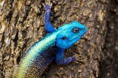 agama błękit głowy jaszczurka Fotografia Stock