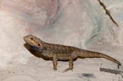 Agama or Bearded Dragon Royalty Free Stock Images