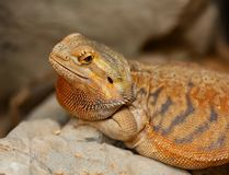 Agama or bearded dragon stock images