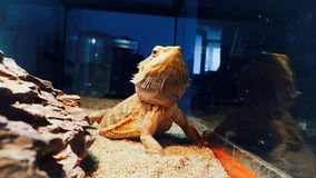 Agama The best animal photomodel Stock Images