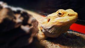 Agama The best animal photomodel Stock Photo