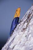 Agama bicolor Imagenes de archivo