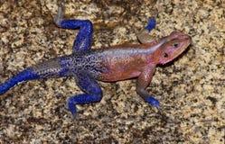 Agama bicolor Imágenes de archivo libres de regalías