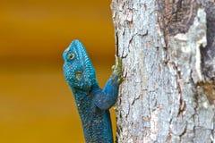 Agama dalla testa blu Fotografia Stock Libera da Diritti