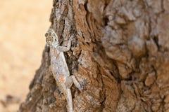 Agama dalla testa rosso femminile della roccia nel Kenya fotografia stock libera da diritti