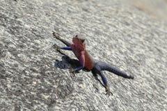 Agama dalla testa rosso maschio della roccia immagini stock