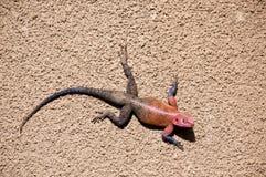 Agama dalla testa rosso maschio della roccia, Tanzania immagini stock libere da diritti