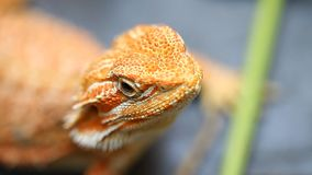Agama del lagarto - una especie común de reptiles en Asia almacen de video