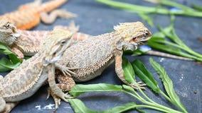 Agama del lagarto - una especie común de reptiles en Asia metrajes