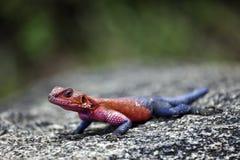 Agama della roccia Fotografia Stock