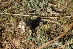 Agama della steppa Immagini Stock